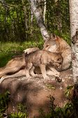 Grey Wolf (canis Lupus) Lies On Rock With Paw Over Pup
