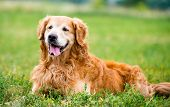 beautiful dog breed golden retriever in the grass