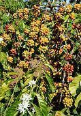 picture of coffee coffee plant  - Coffee tree with coffee bean on cafe plantation cafe is main plant at basalt soil like Bao Loc Lam Dong Viet Nam and coffee is Vietnam agriculture product to export - JPG