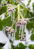 Постер, плакат: Ice Covering Berries