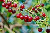 Cherries red on branch and sky