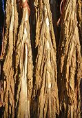 picture of tobacco barn  - Detail of a Dry tobacco leaf - JPG