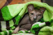 Naked Cat