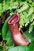 stock photo of carnivorous plants  - Nepenthes carnivorous plant - JPG