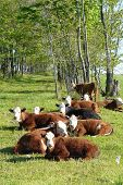 cows laying down in roadway field