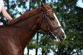Portrait Of Chestnut Sport Horse