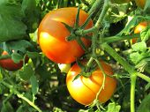 Two Ripe Tomatoes On Branch. Growing Vegetables. Agriculture