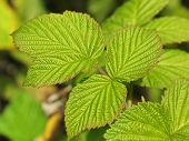 Relief Leaves Of Raspberry