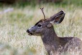 Small Male Mule Deer