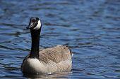 stock photo of canada goose  - A Canada Goose  - JPG