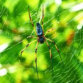 pic of orbs  - Giant wood spider  - JPG
