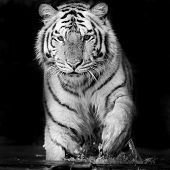 image of sundarbans  - Closeup Tiger animal wildlife on black background - JPG