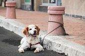 pic of bollard  - Domestic dog tied to a street bollard waiting for the owner from a shop - JPG
