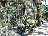Dates Pines  Cactus