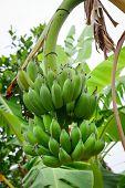 stock photo of bunch bananas  - Bunch of bananas on tree in Mekong Delta Vietnam - JPG