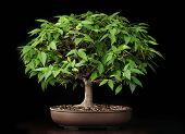 image of bonsai  - Bonsai japan elm tree in summer season - JPG