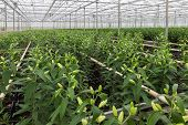 stock photo of cultivation  - Dutch Greenhouse with cultivation of lily flowers - JPG