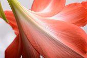 stock photo of gladiolus  - flowers close up - JPG