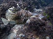 lionfisha