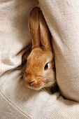 stock photo of dwarf rabbit  - Woman holding little cute rabbit close up - JPG
