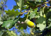 picture of acorn  - Green acorn on branch of oak in the background of the sky