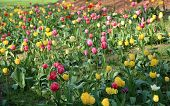 foto of rockefeller  - Colorful beautiful tulips in the park  - JPG