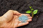 stock photo of fertilizer  - a hand giving fertilizer to a young plant - JPG