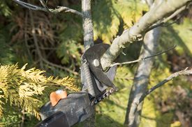 picture of prunes  - Closeup view of pruning tree by special gardening equipment - pruning stik. ** Note: Shallow depth of field - JPG