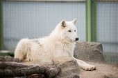 Arctic White Wolf Canis Lupus Arctos Aka Polar Wolf Or White Wolf poster