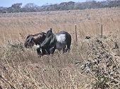 picture of brahma-bull  - A brahma bull with his harem in rural Guanacaste Costa Rica - JPG