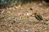 A Robin Redbreast