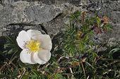 Burnet Rose Rosa pimpinellifolia