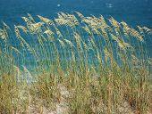Sea Oats on the sand dunes of North Carolina's Wrightsville Beach