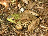 Camouflaged Frog/Toad In Its Natural Environment