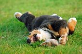 Portrait of puppy Bernese mountain dog playing on grass