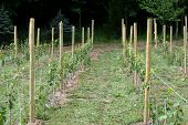 Rows Of Immature Grape Vines
