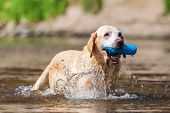 Older Labrador With Treat Bag In The River poster