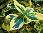 Variegated Leaves