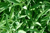 image of camphor  - Fresh Sage Herb - JPG