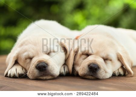 poster of Cute labrador puppies sleeping on wooden deck - on green foliage background, close up