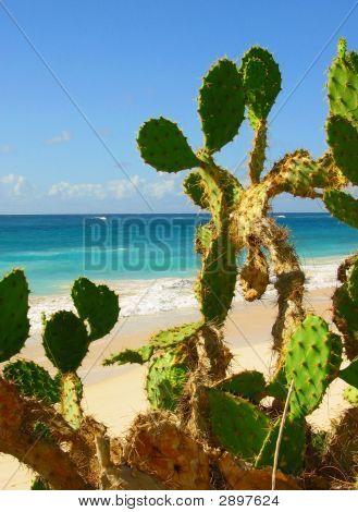 beach cactus