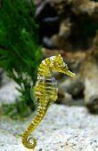 Thorny Seahorse Cute Sea Animal / Beautiful Yellow Sea Horse Swimming Underwater Ocean poster