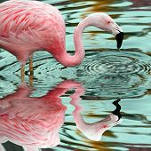 Pink Flamingo Reflection - water drips off the bird's beak causing concentric rings.