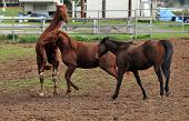 Three horses in a pen - one jumps on it's hind legs as they play together