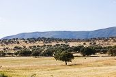 Spanish dry landscape called dehesa