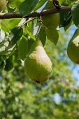 Shiny Delicious Pears Hanging From A Tree Branch In The Orchard.. poster