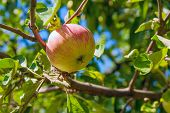 Shiny Delicious Apples Hanging From A Tree Branch In An Apple Orchard. poster