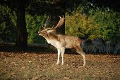 Grunting Or Rattling Stag In Autumn Mating Season