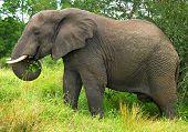 closeup photo of an elephant eating leaves