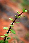 Portulacaria Afra - elephant bush